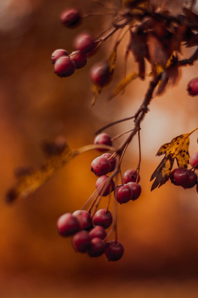 autumn berries hanging on tree branch