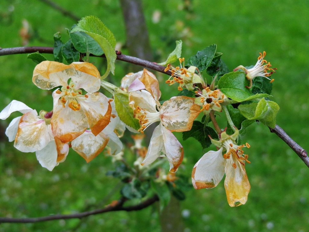 apple tree blossom damaged by frost