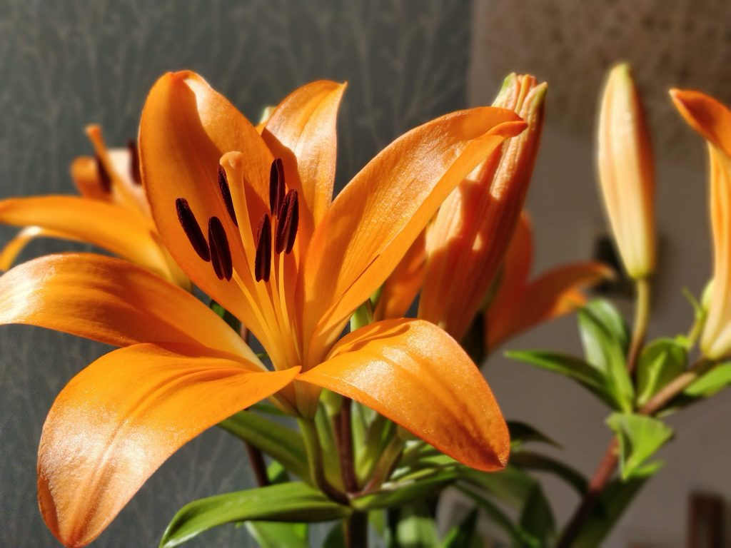 what to plant in january - lillies