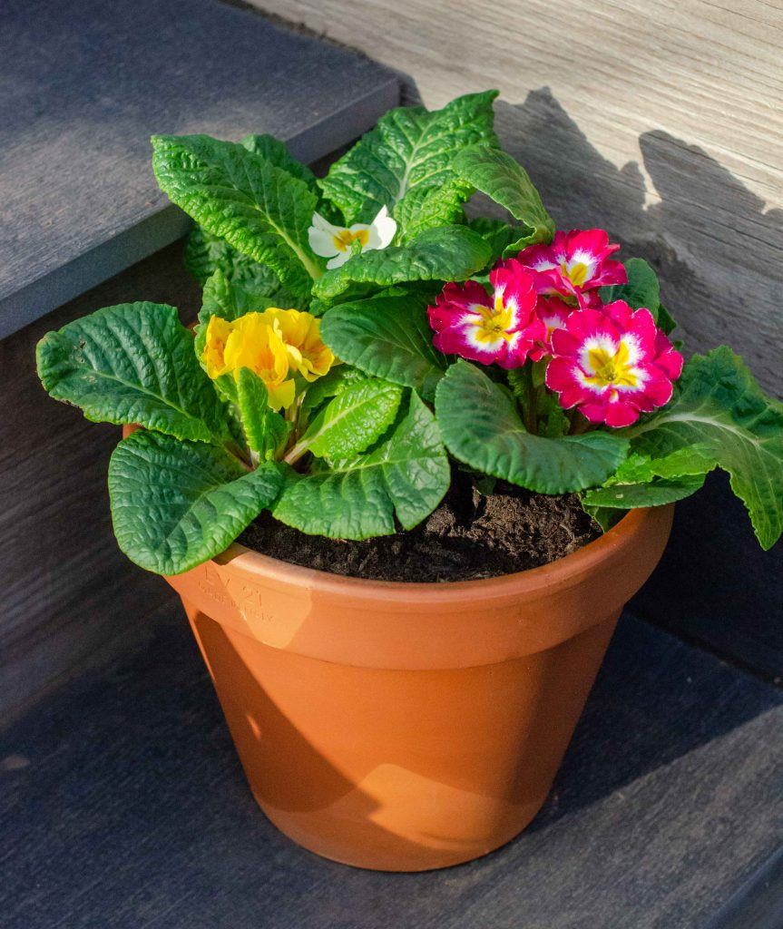winter pansies in terracotta pot