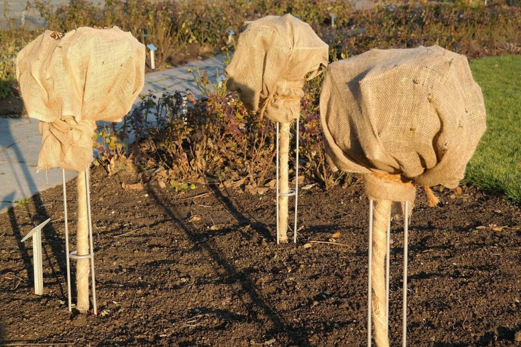 protecting plants from frost by wrapping in hessian