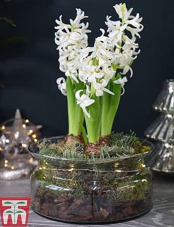 thompson and morgan lit hyacinth bowl