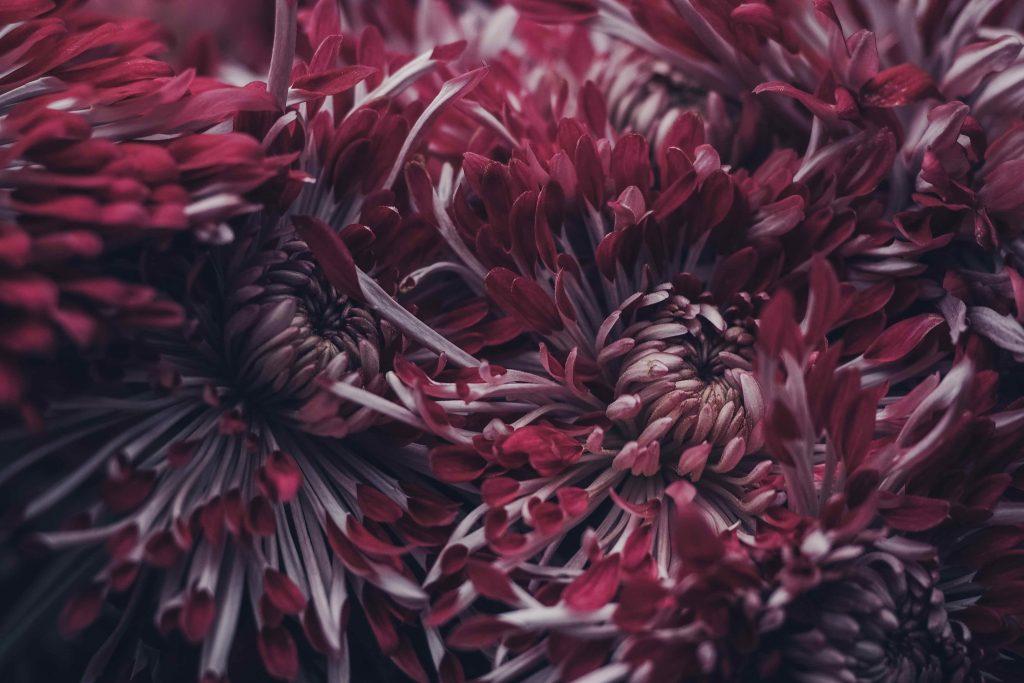 november birth flower - deep red chrysanthemums