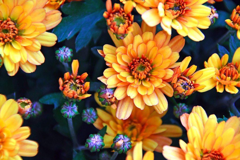november birth flower - chrysanthemums