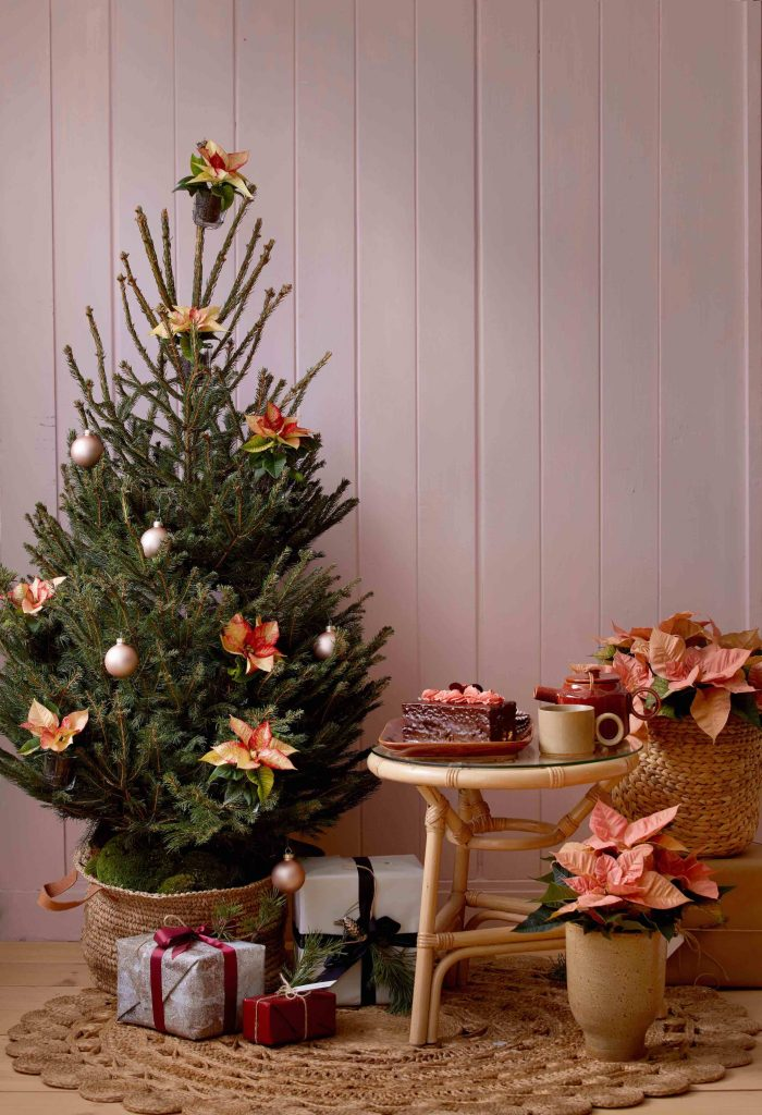 pink poinsettia plants and christmas tree