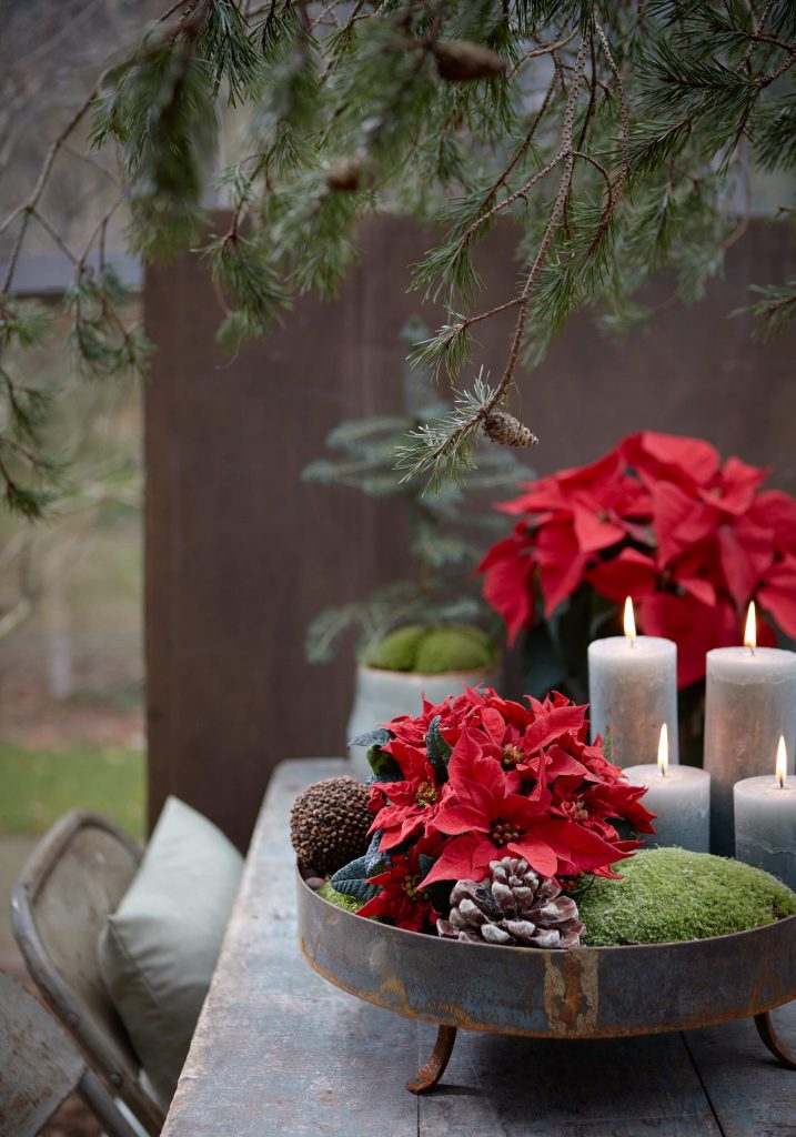 red poinsettia plant Christmas table centrepiece