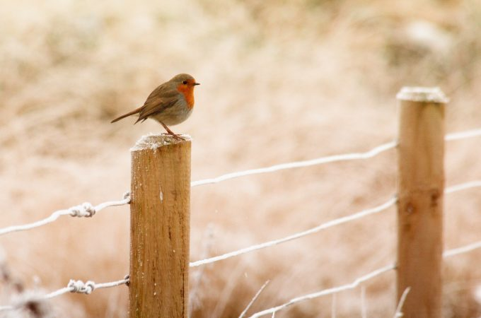 robin on fence in winter