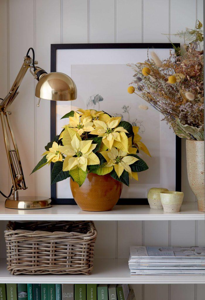 yellow poinsettia plants