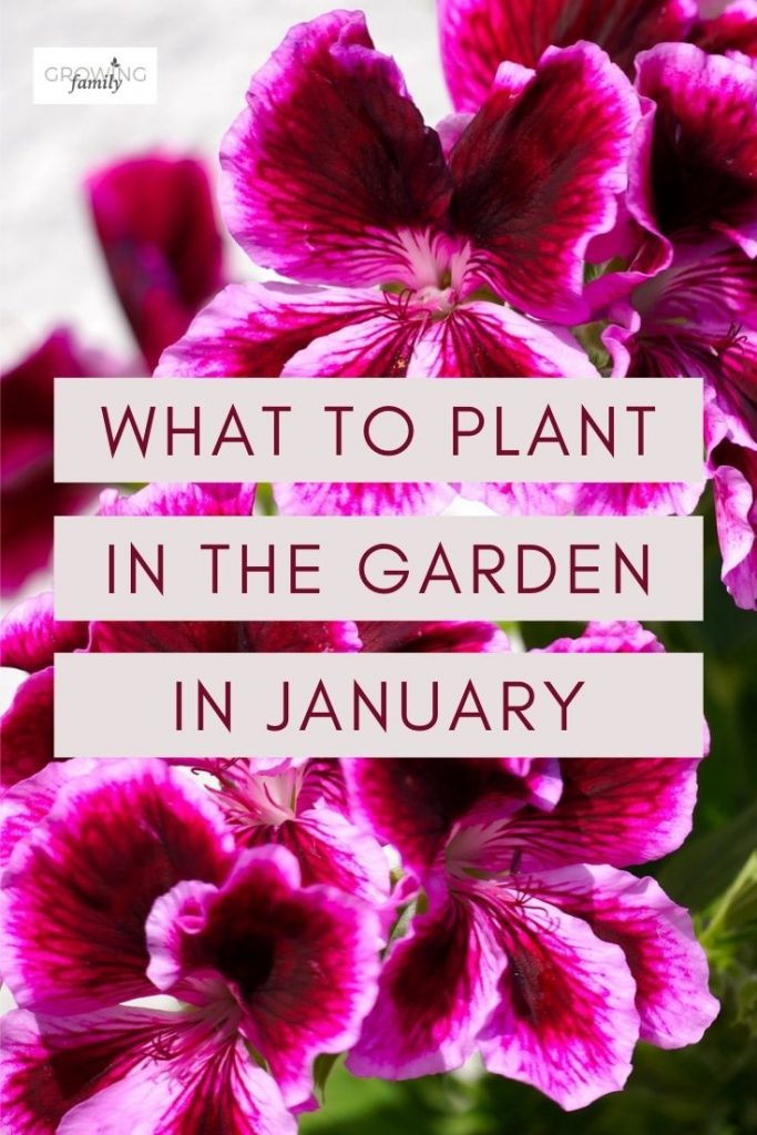 Ready to get planting in the garden? Check out these top picks for what to plant in January, including flowers, fruit and vegetables.