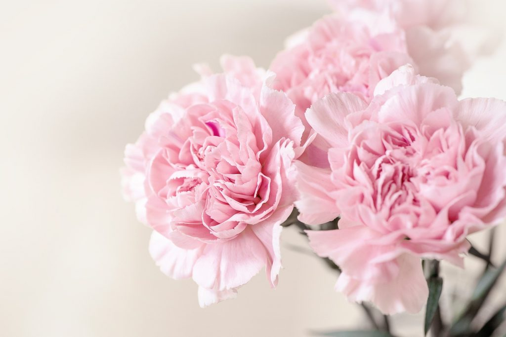 pale pink carnation flowers