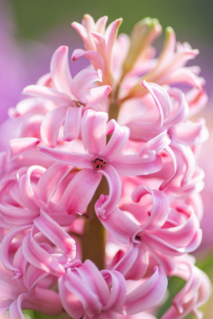 closeup of pink hyacinth flower