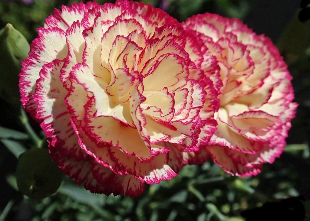 striped carnation flowers