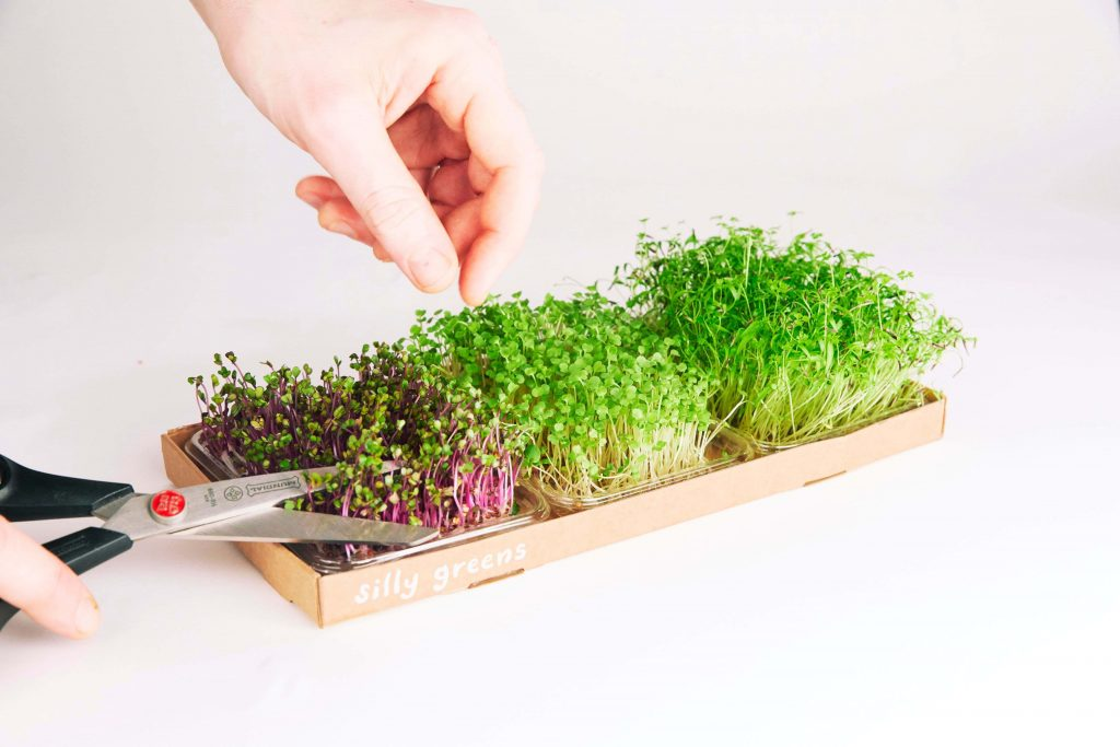 silly greens micro greens being harvested