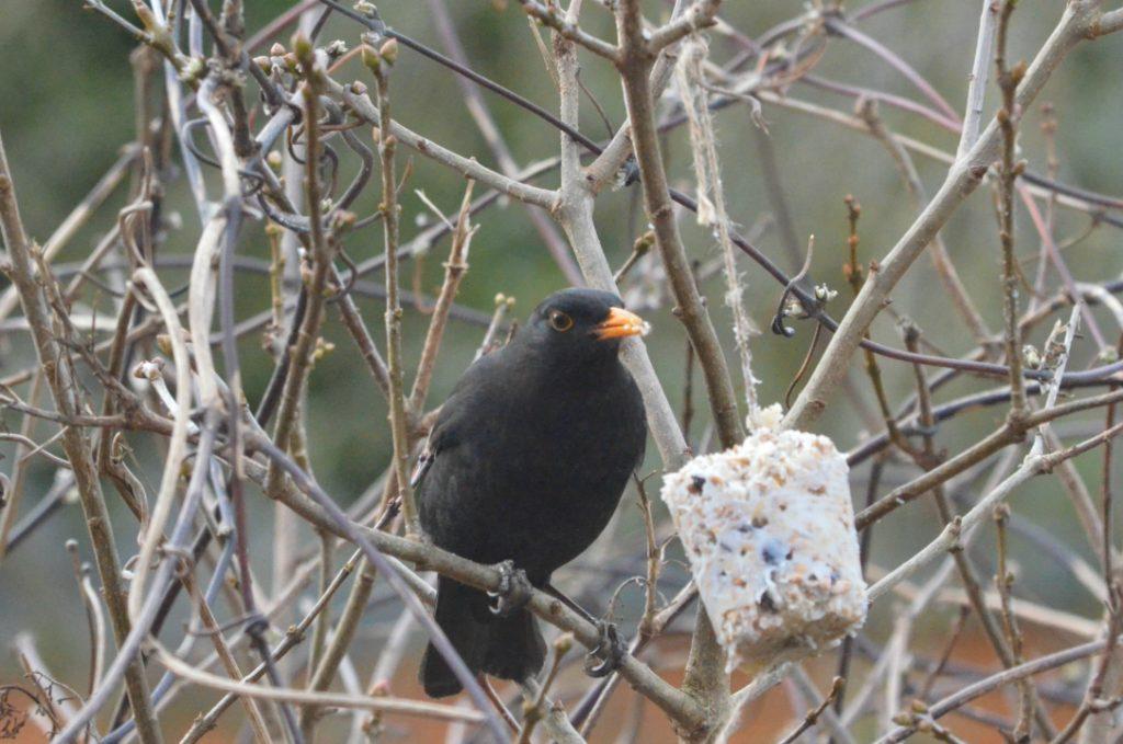 male blackbird eating homemade bird feeder