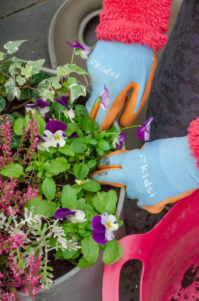 planting a container with heather and pansies