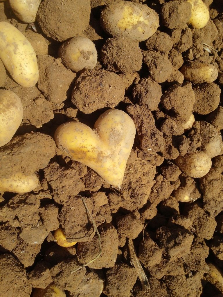 heart shaped potato on soil