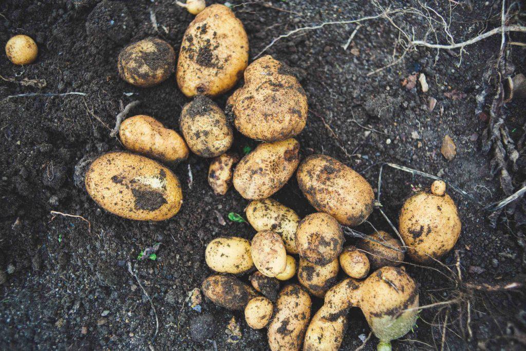 potatoes on soil
