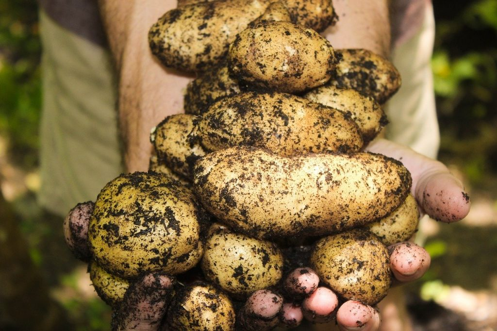 man's hands holding harvested potatoes