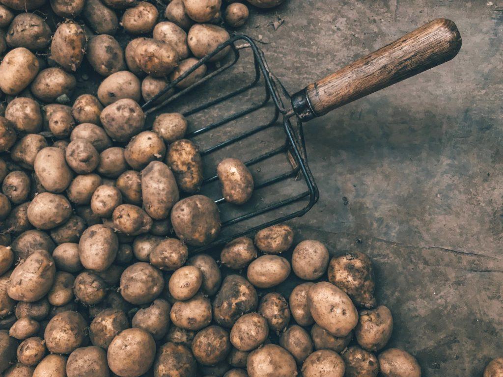 potatoes with shovel