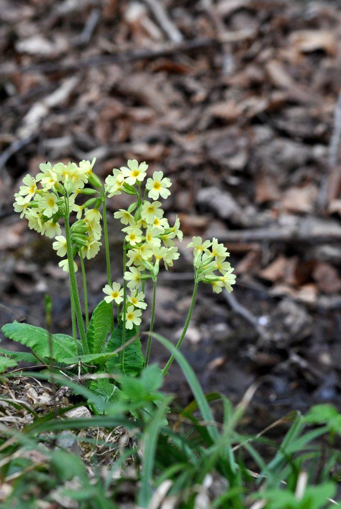 february birth flower - primroses
