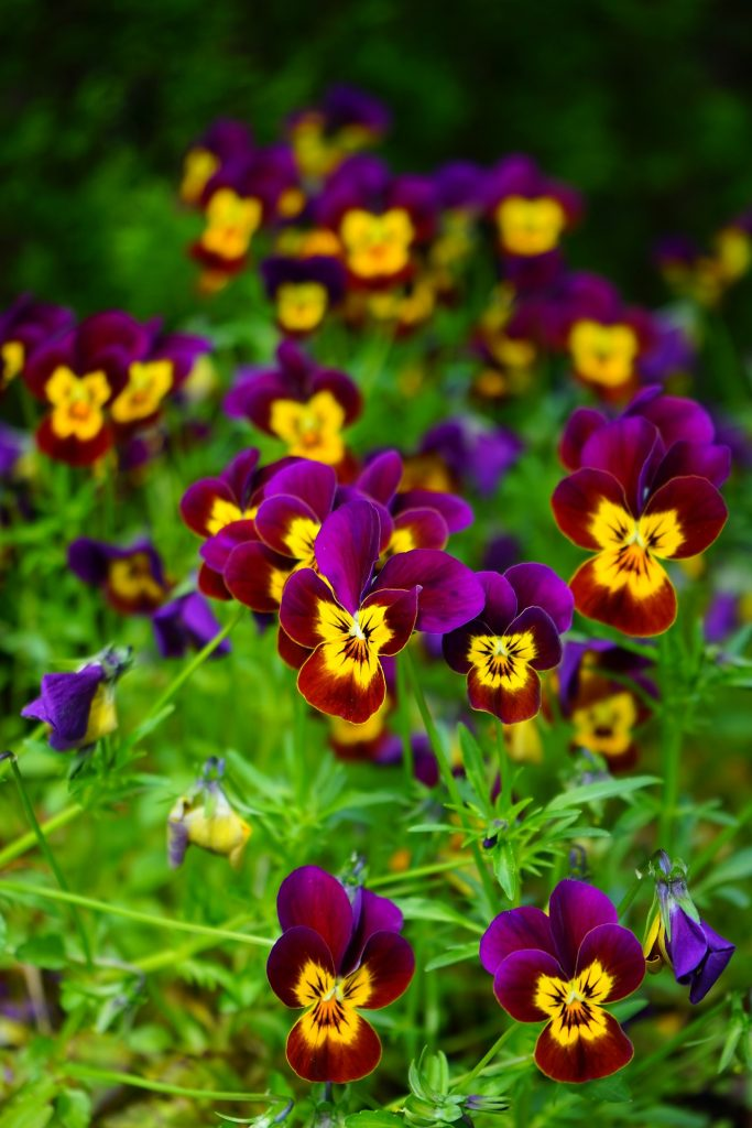 february birth flowers - pansies