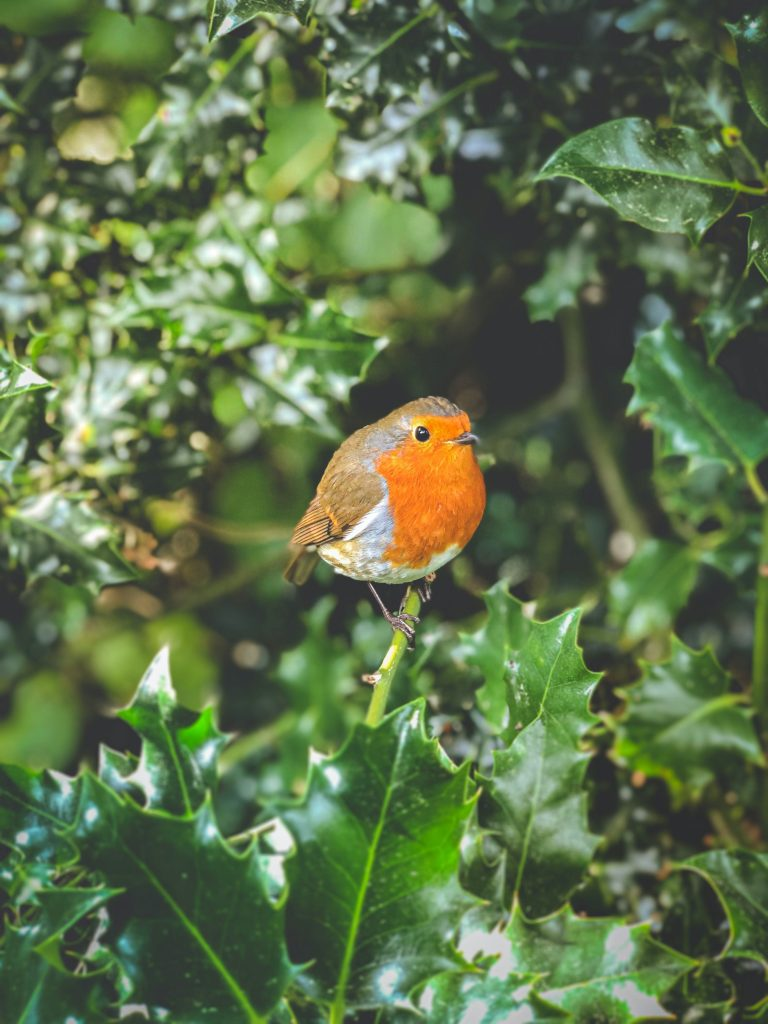 robin in a holly bush