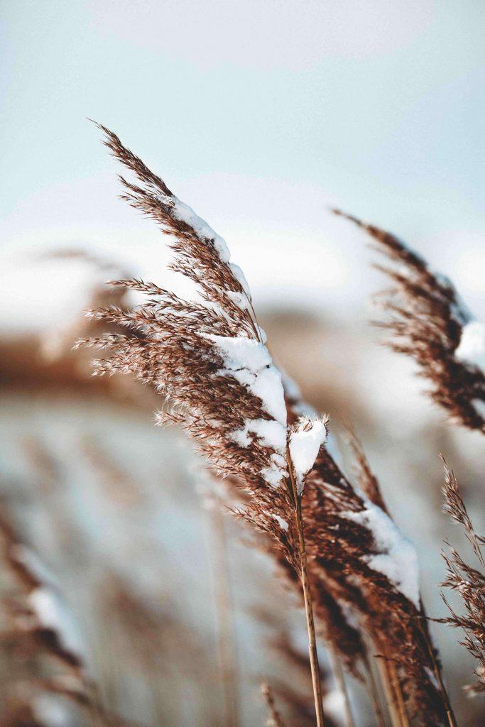 snow on ornamental grasses in garden in winter