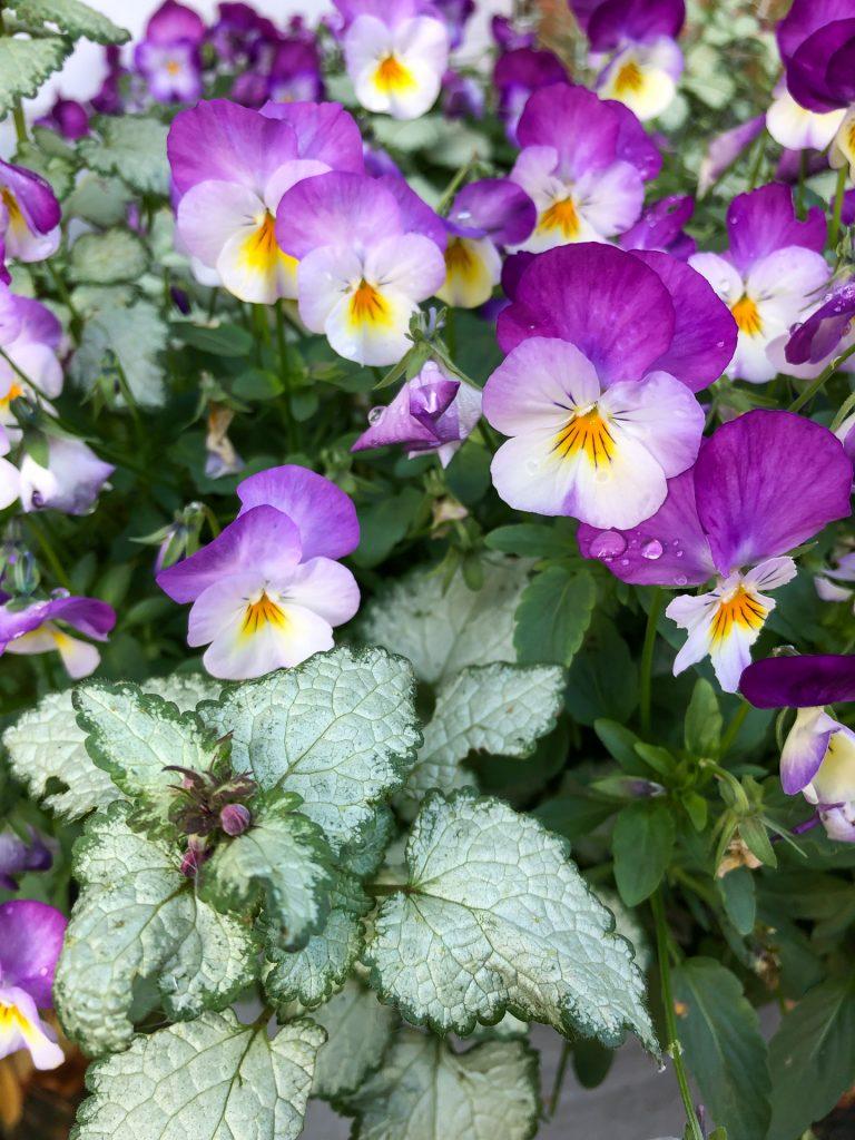 february birth flower - violas