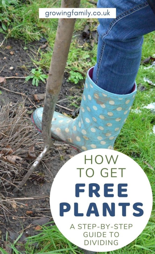 A step-by-step guide to making free plants for your garden by dividing perennials. Easy and a perfect gardening project for early spring.