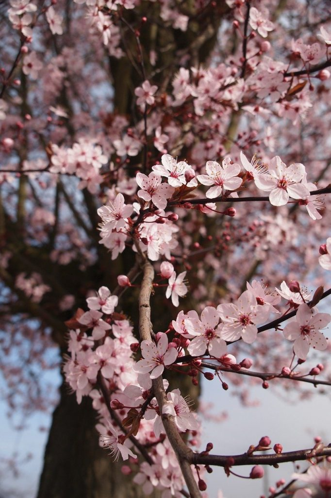 pink cherry blossom on a tree