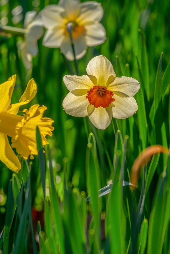 daffodil flowers in sunshine
