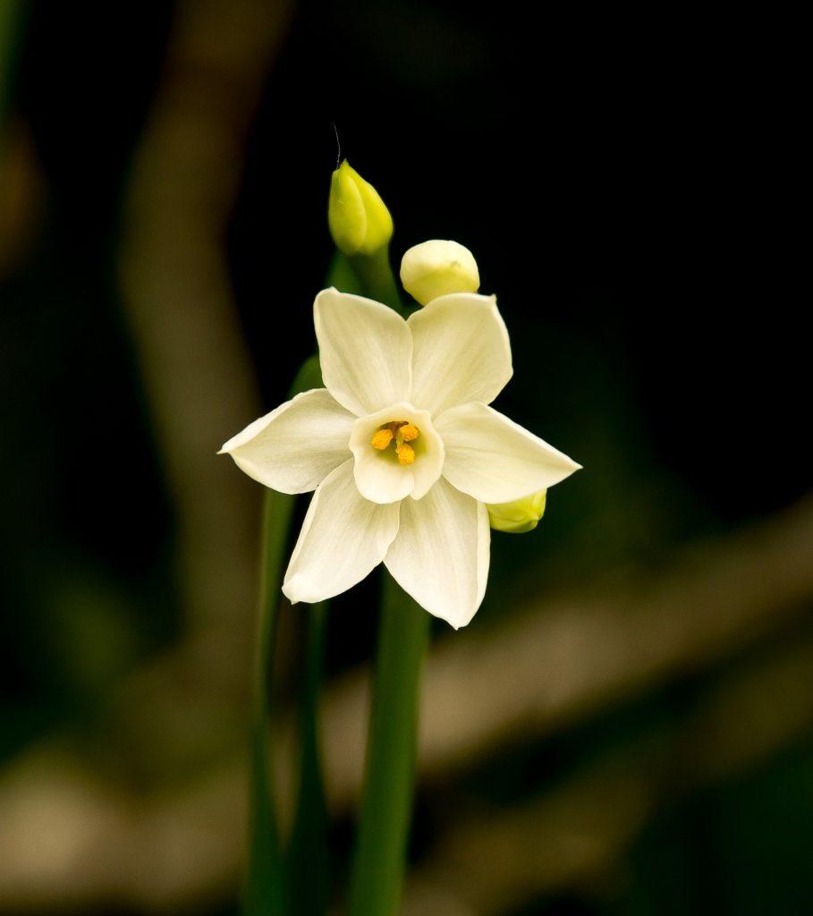 jonquils march birth flower