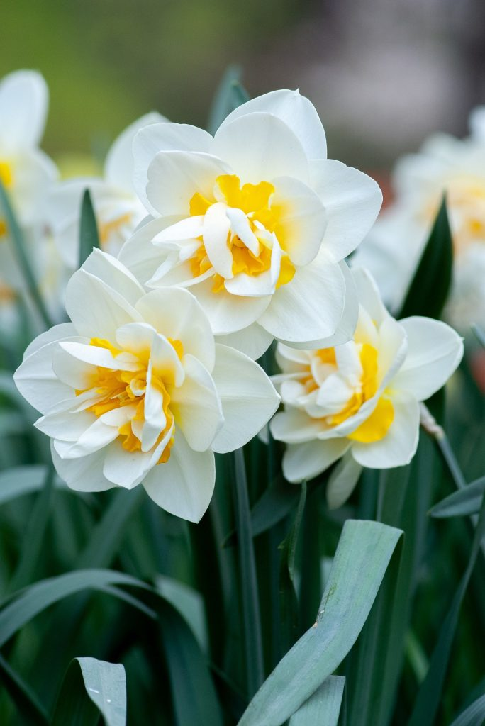 yellow and white daffodils march birth flower