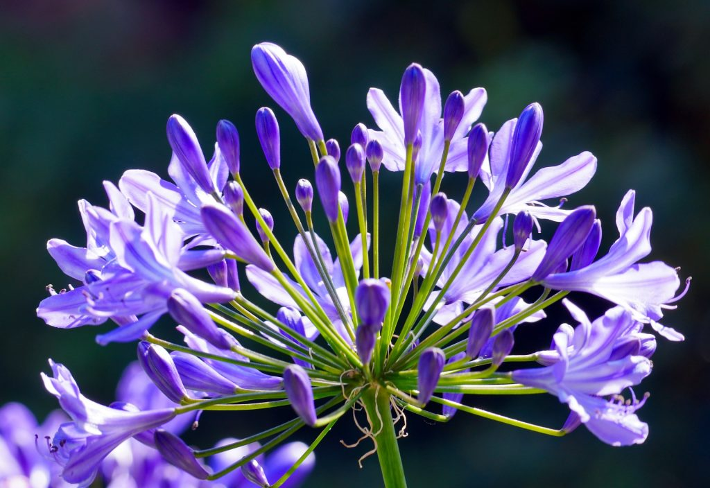 plants for outdoor pots - agapanthus