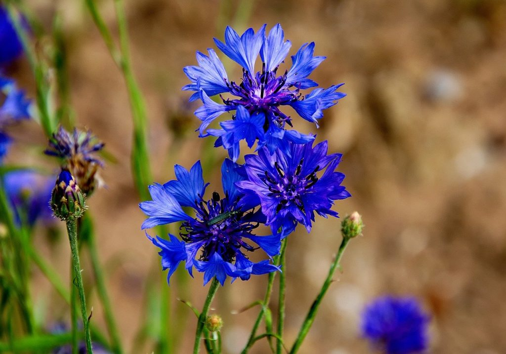 easy flowers to grow from seed: blue cornflowers