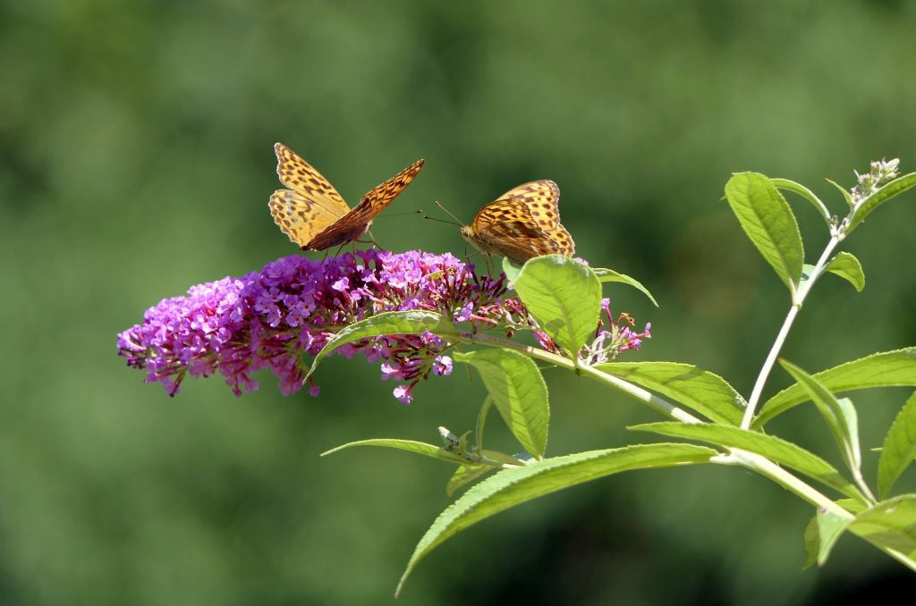 plants for outdoor pots - dwarf buddleja