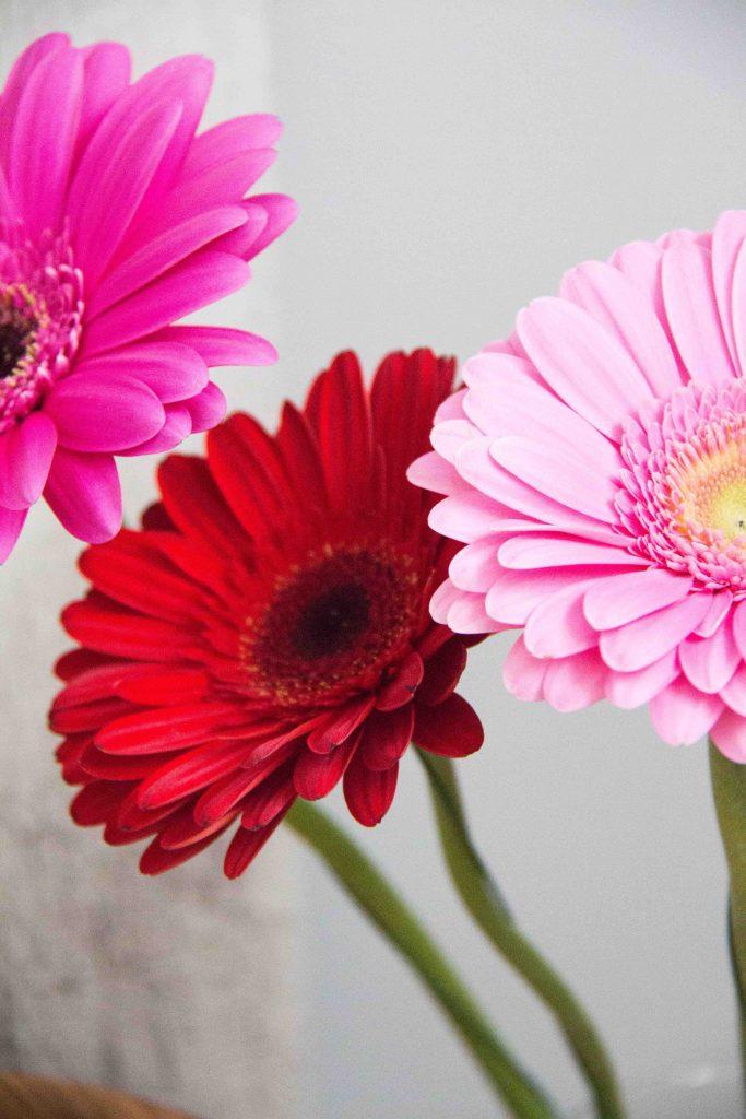 gerbera daisy flower heads