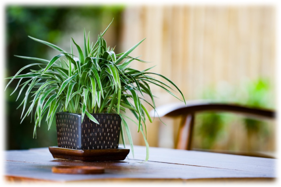 popular houseplants - spider plant