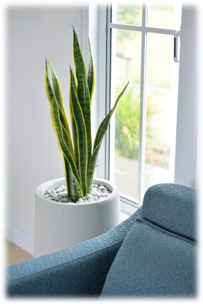 popular houseplants - snake plant