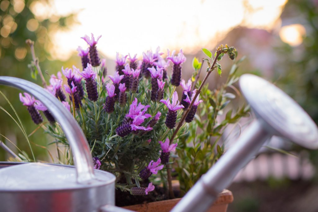 plants for outdoor pots - lavender