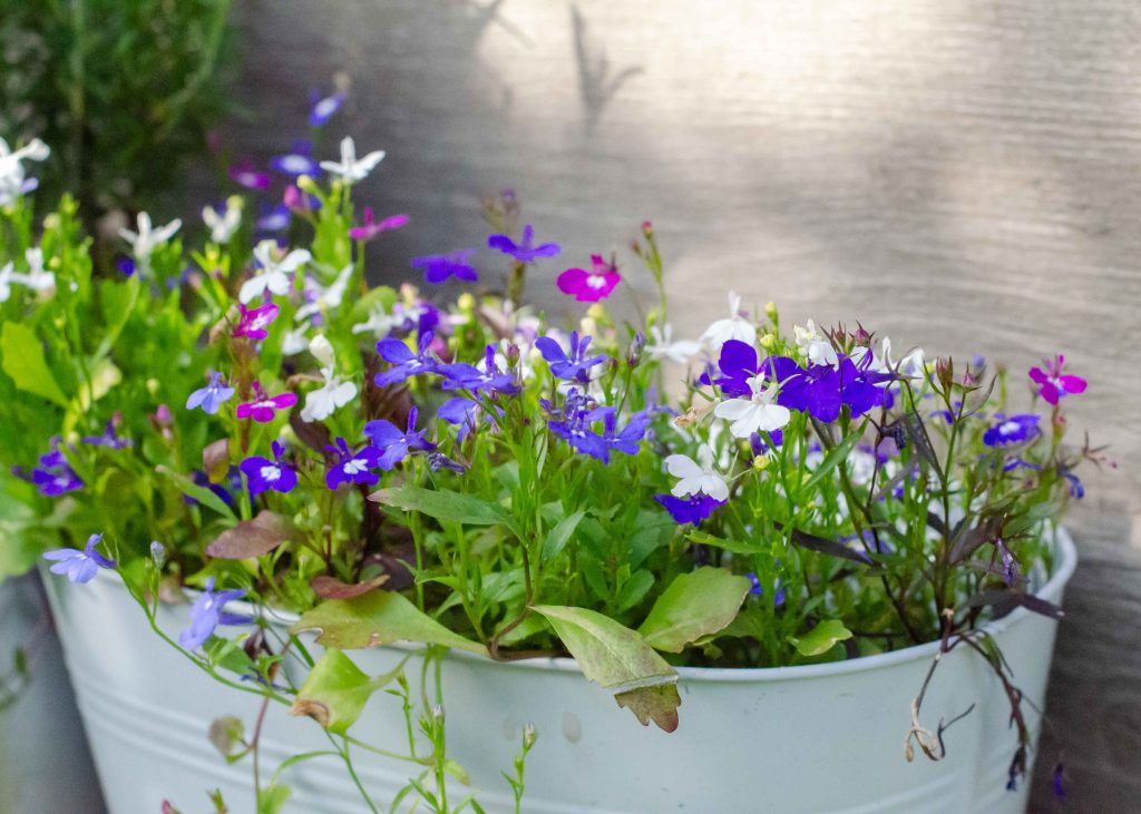 ideal plants for outdoor pots - lobelia