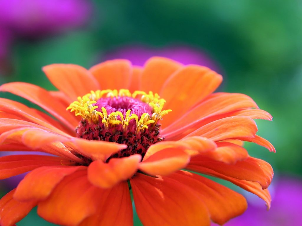 easy flowers to grow from seed: zinnia