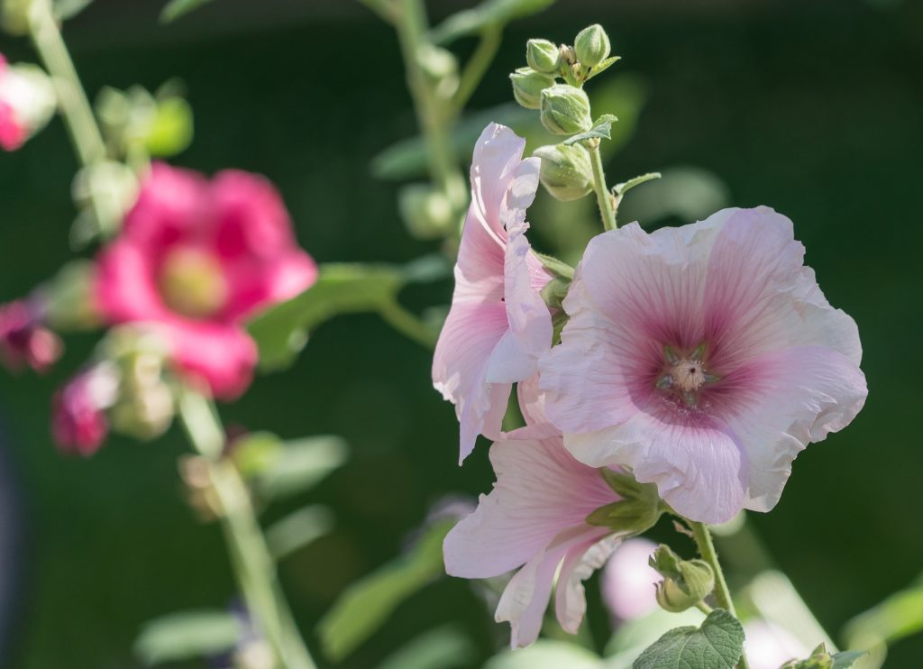 plants for outdoor pots - dwarf lavatera mallow