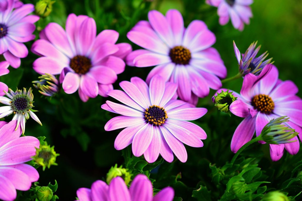 plants for outdoor pots - osteospermum