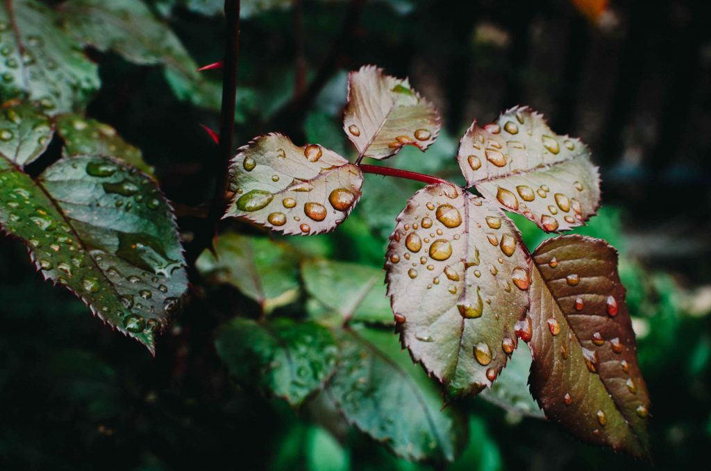 rainwater on leaves