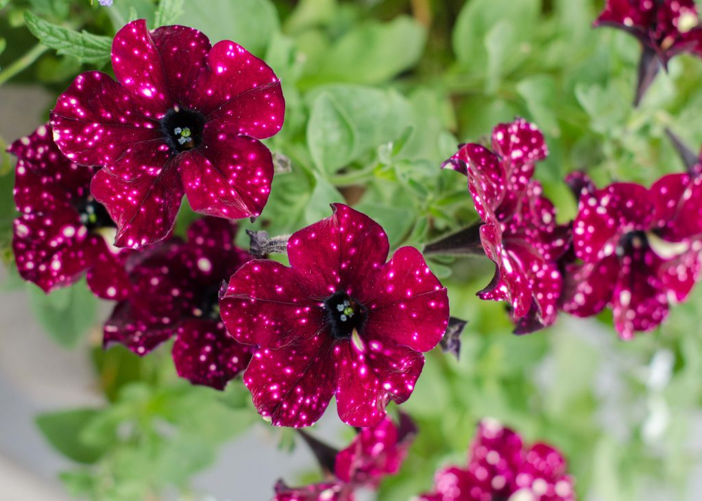ideal plants for outdoor pots - petunias