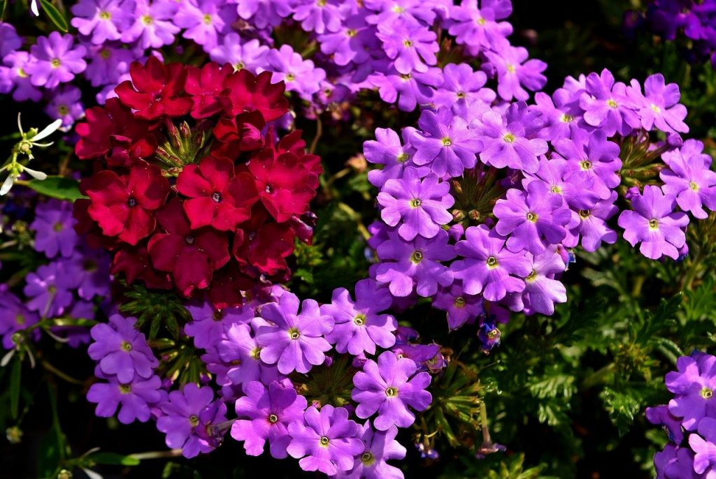 verbena bedding plants