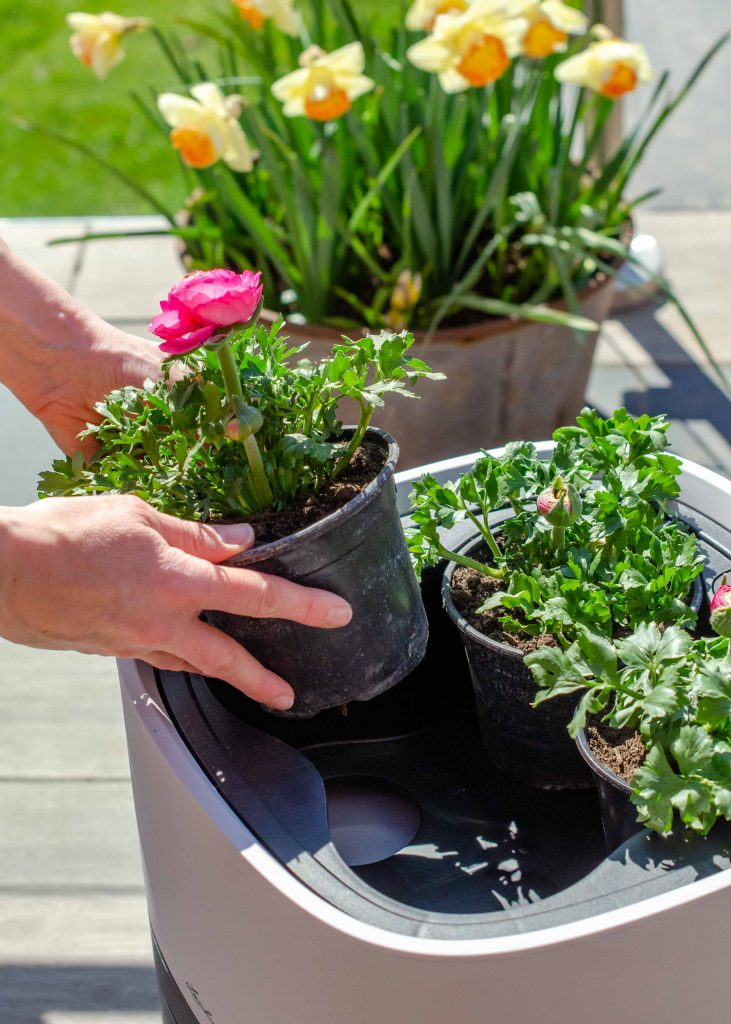 Adding potted ranunculus plants to a container