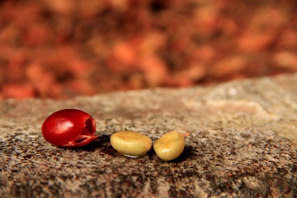 coffee berry and coffee beans