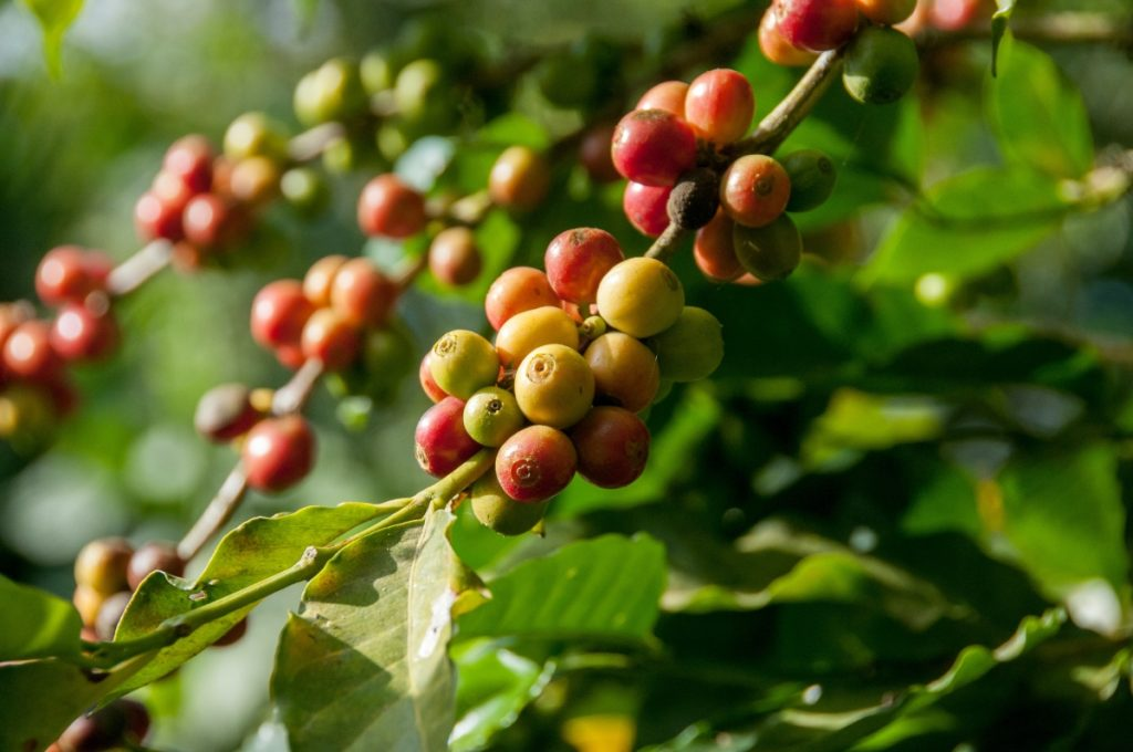 coffee plants with berries